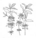 Ancylanthos rubiginosus