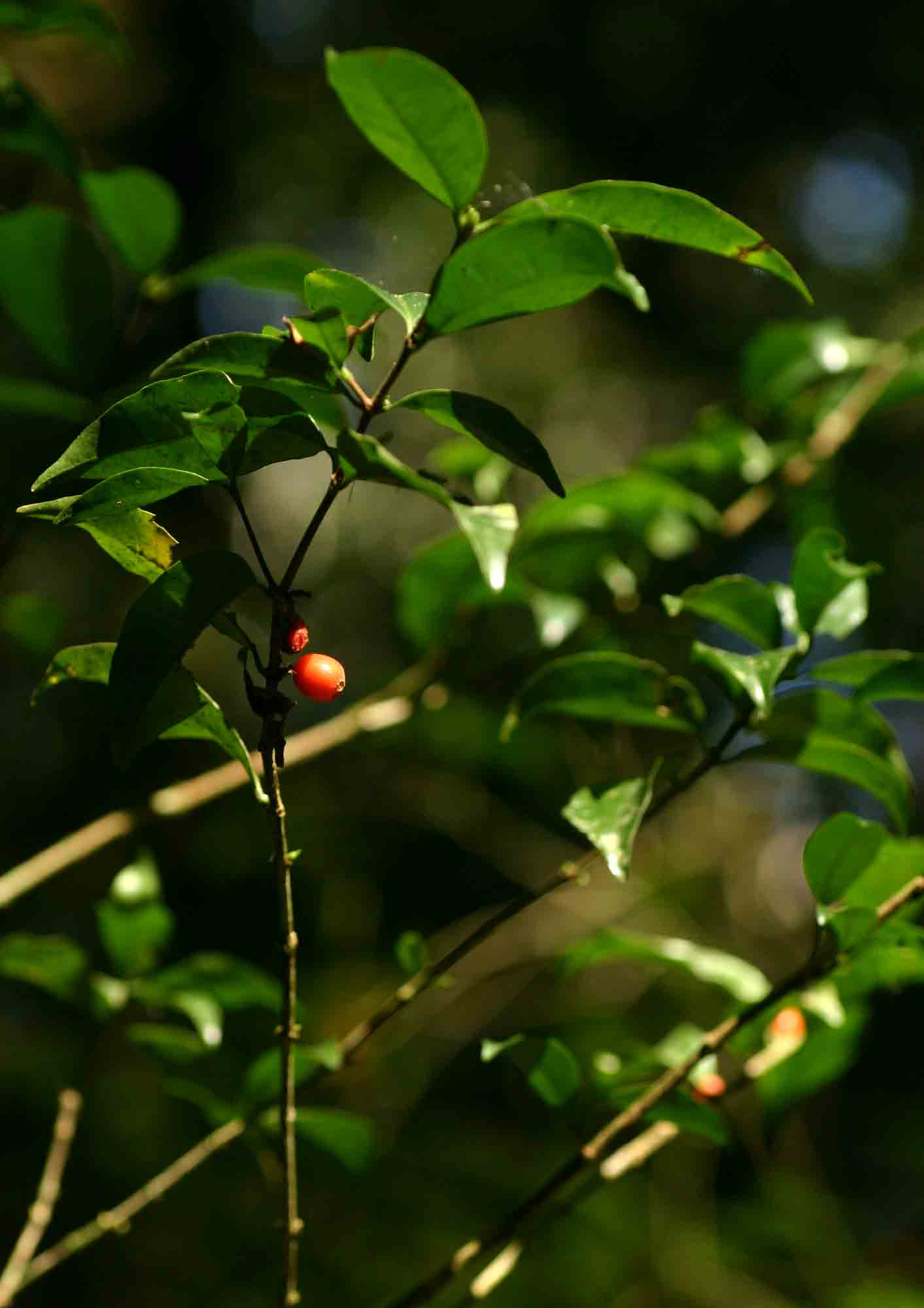 Coffea mufindiensis subsp. australis