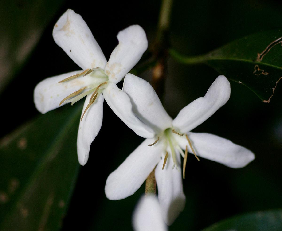 Coffea salvatrix