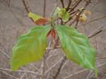 Coffea zanguebariae