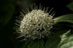 Pavetta cataractarum