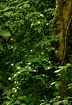 Pavetta comostyla subsp. comostyla var. inyangensis