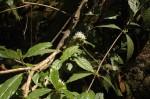 Rutidea orientalis