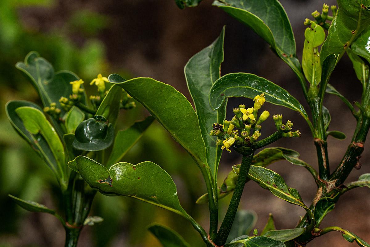 Psychotria capensis subsp. capensis var. capensis