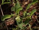 Psychotria kirkii