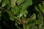 Psychotria mahonii