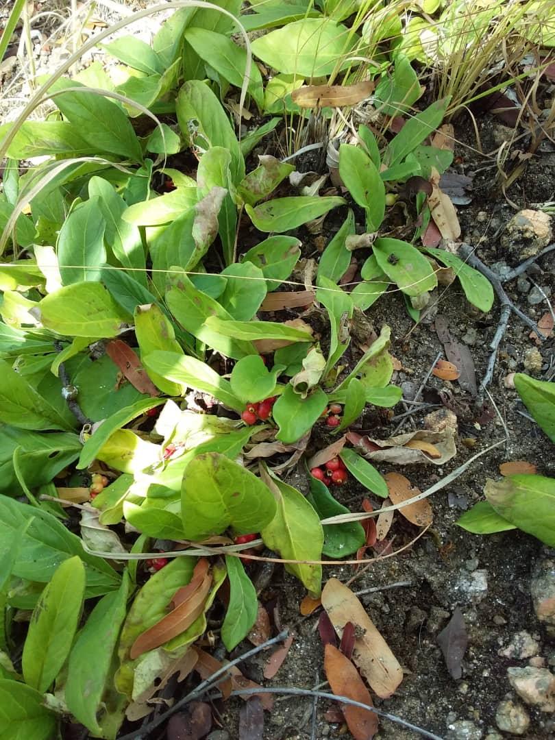 Psychotria pumila var. pumila