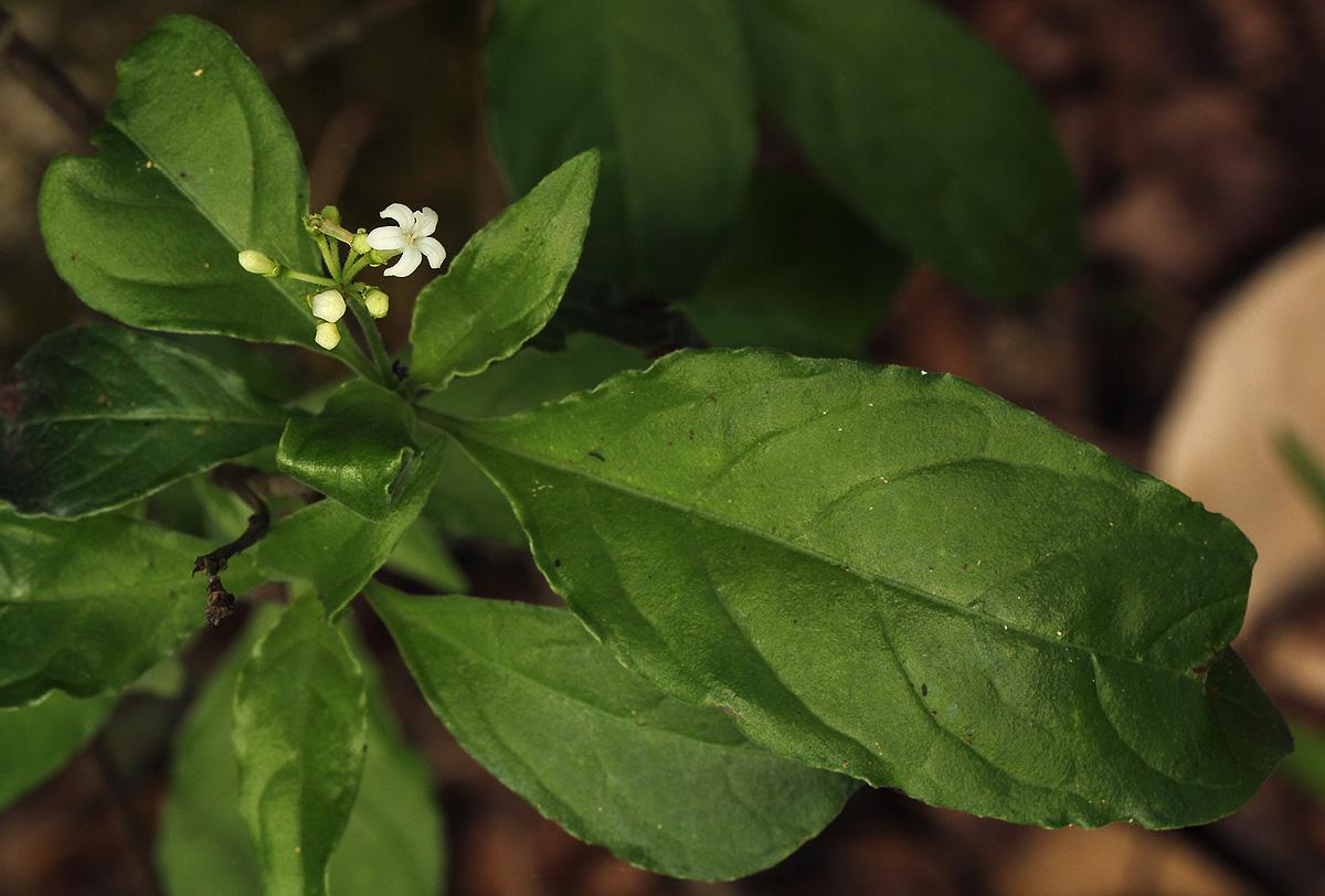 Psychotria pumila var. buzica