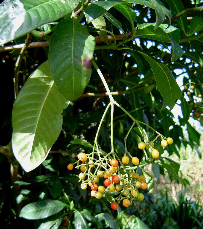 Psychotria zombamontana