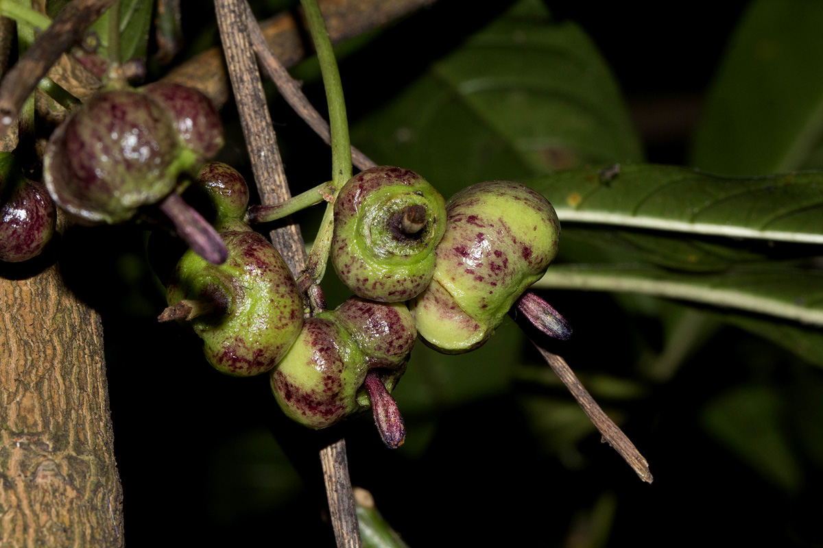 Chassalia parvifolia