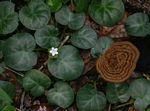Geophila obvallata subsp. ioides