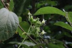 Paederia bojeriana subsp. foetens