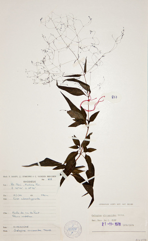 Galopina circaeoides
