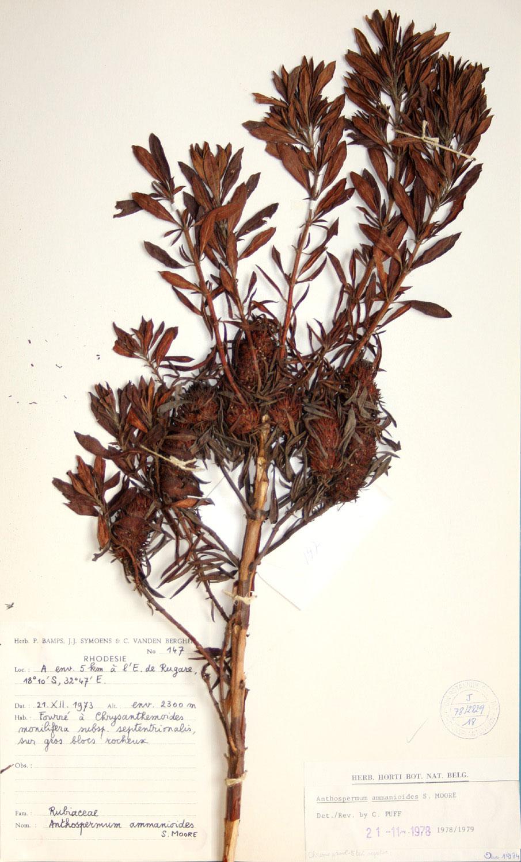 Anthospermum ammannioides