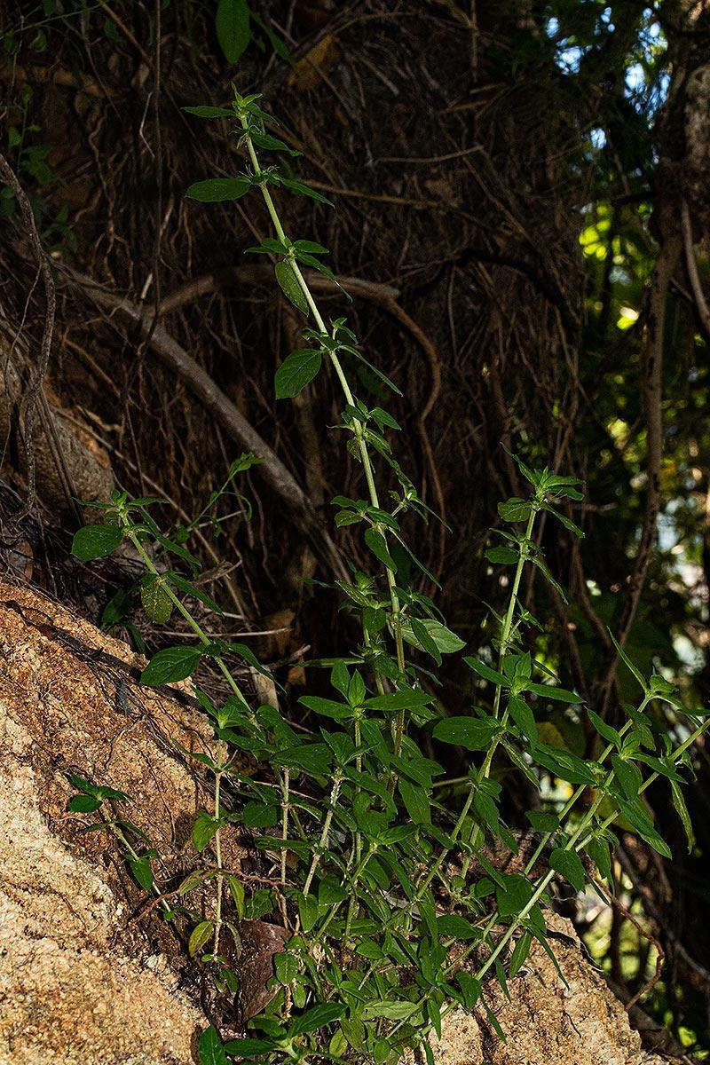Anthospermum herbaceum