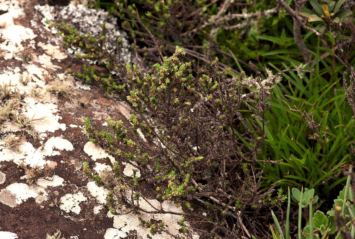 Anthospermum whyteanum