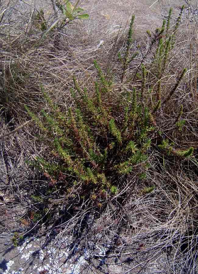 Anthospermum zimbabwense