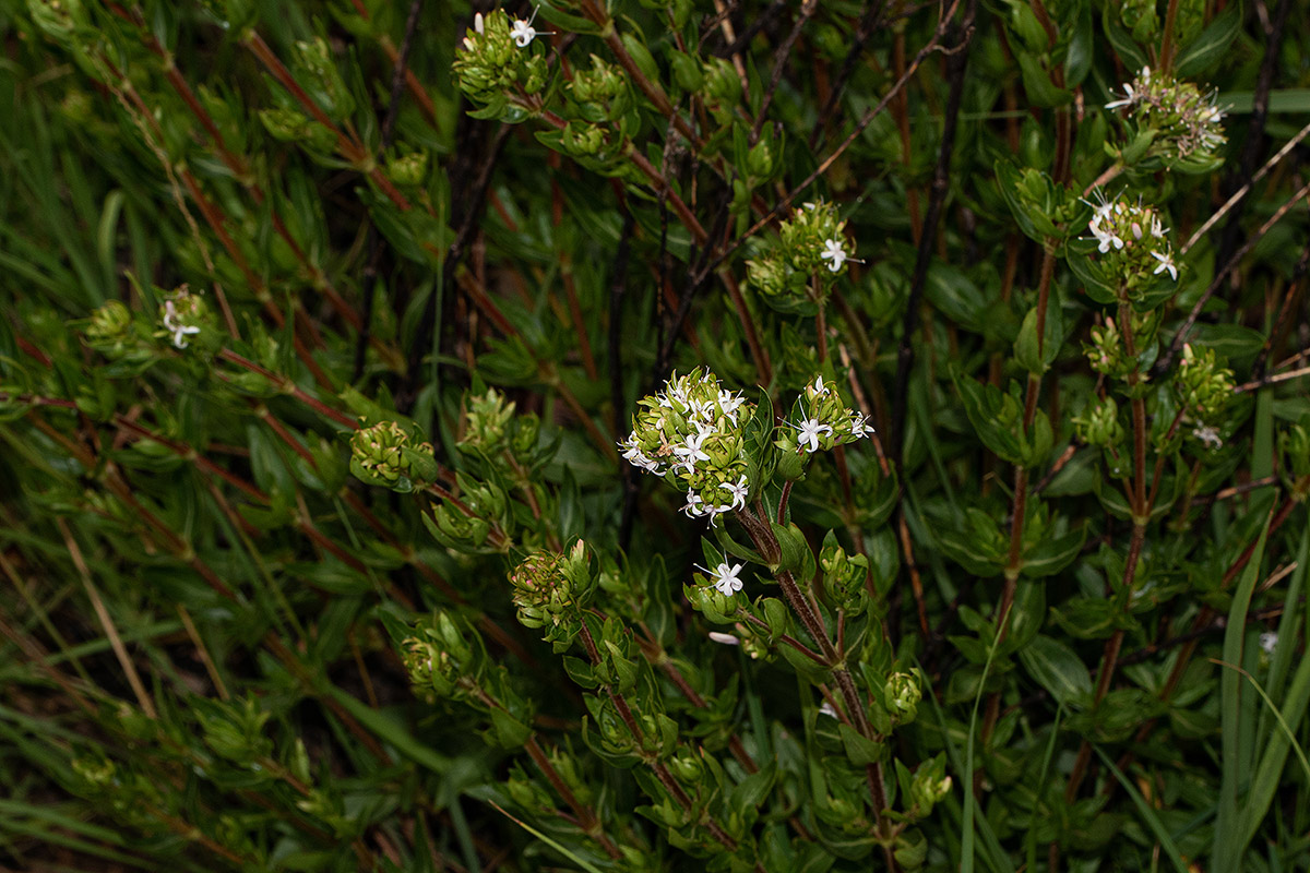 Otiophora inyangana subsp. inyangana