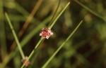 Spermacoce filifolia