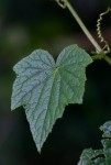 Oreosyce africana