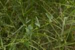 Zehneria marlothii