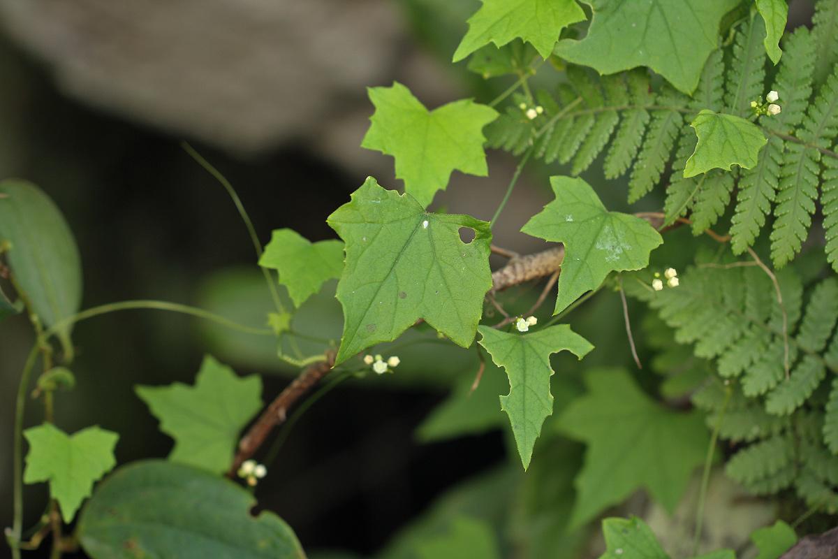 Zehneria minutiflora