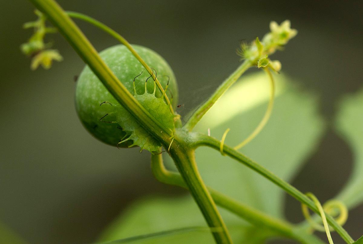 Ctenolepis cerasiformis