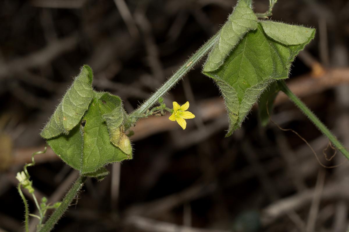 Kedrostis foetidissima