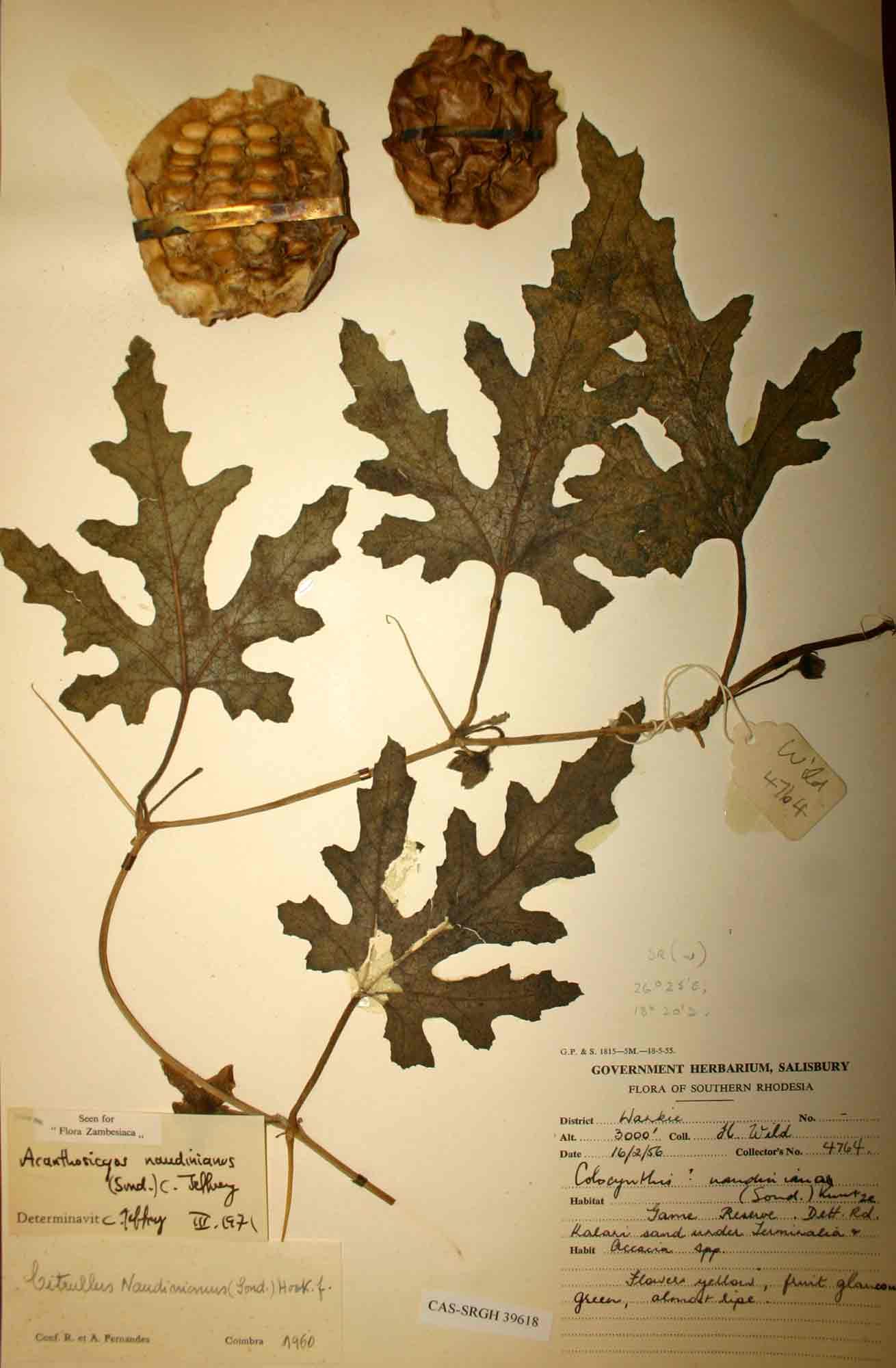 Acanthosicyos naudinianus