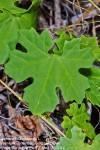 Momordica balsamina