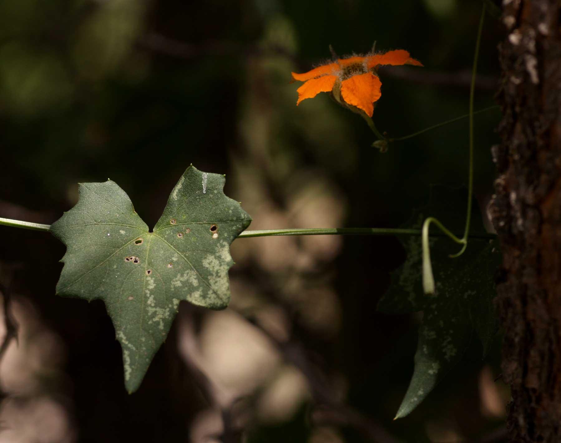 Momordica boivinii