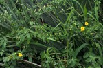 Momordica cardiospermoides