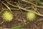 Cucumis anguria var. anguria