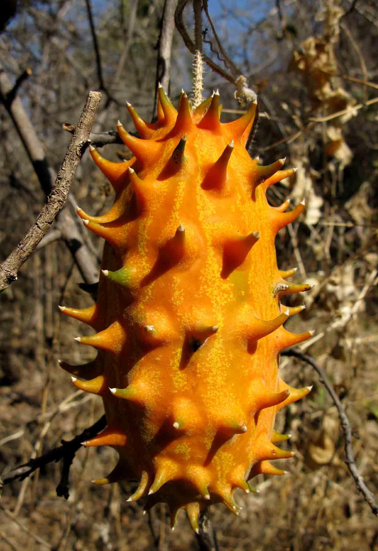 Cucumis metuliferus