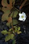 Lagenaria breviflora