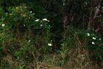 Lagenaria sphaerica