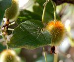 Raphidiocystis chrysocoma