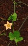 Coccinia adoensis
