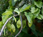 Cyclantheropsis parviflora
