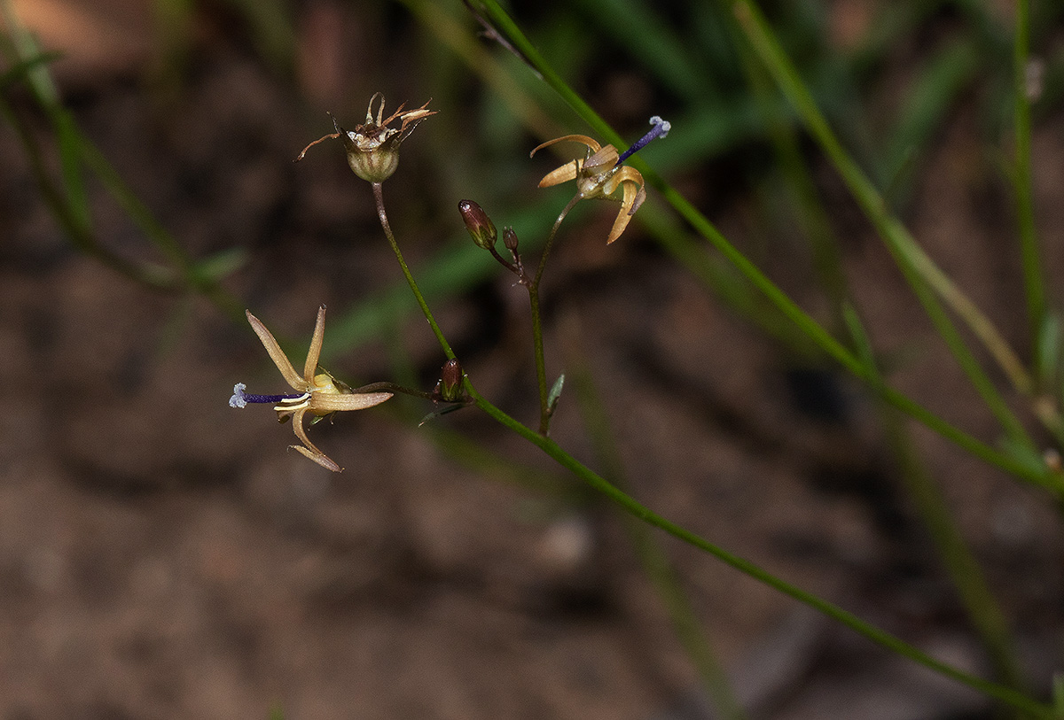 Wahlenbergia abyssinica
