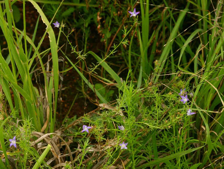 Wahlenbergia denticulata