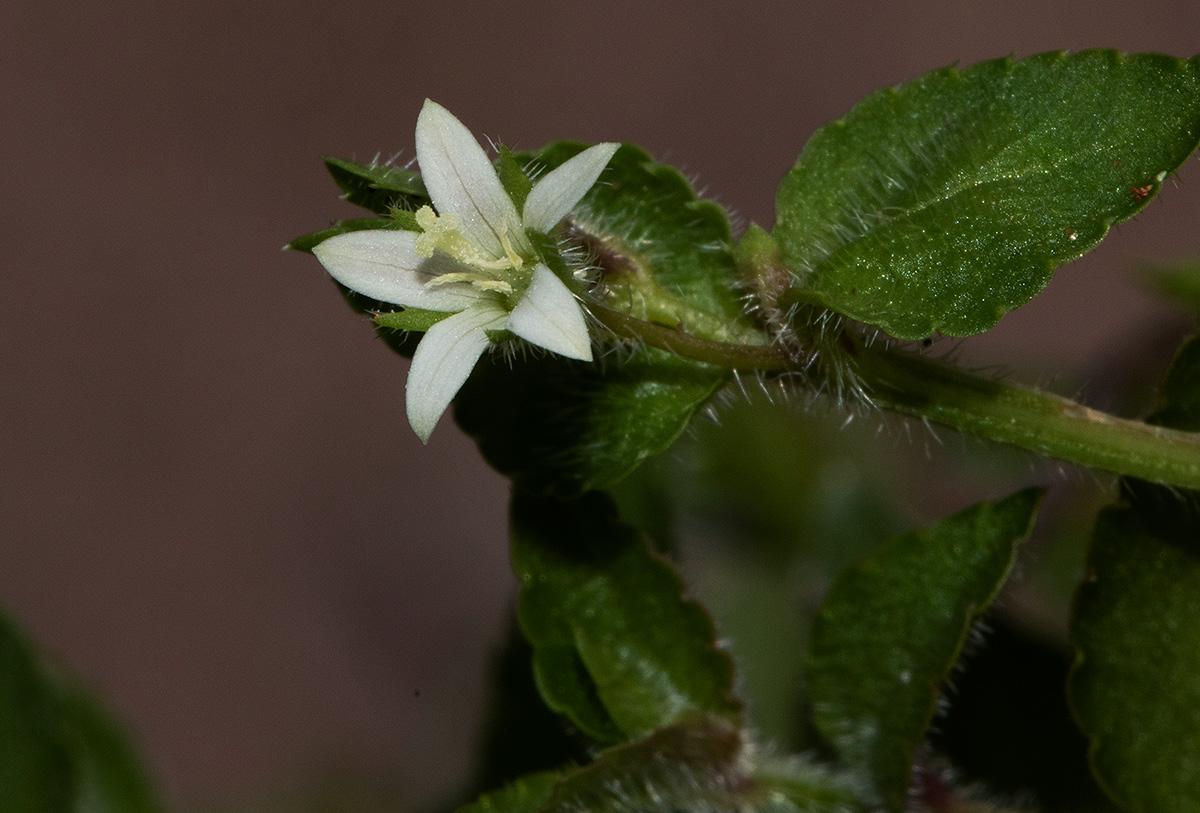 Wahlenbergia madagascariensis