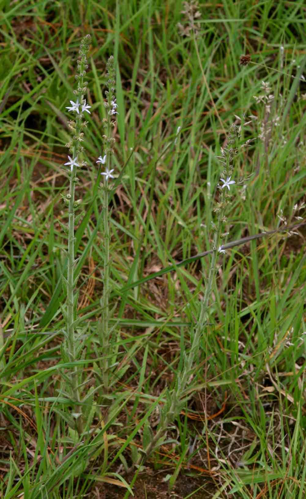 Wahlenbergia napiformis