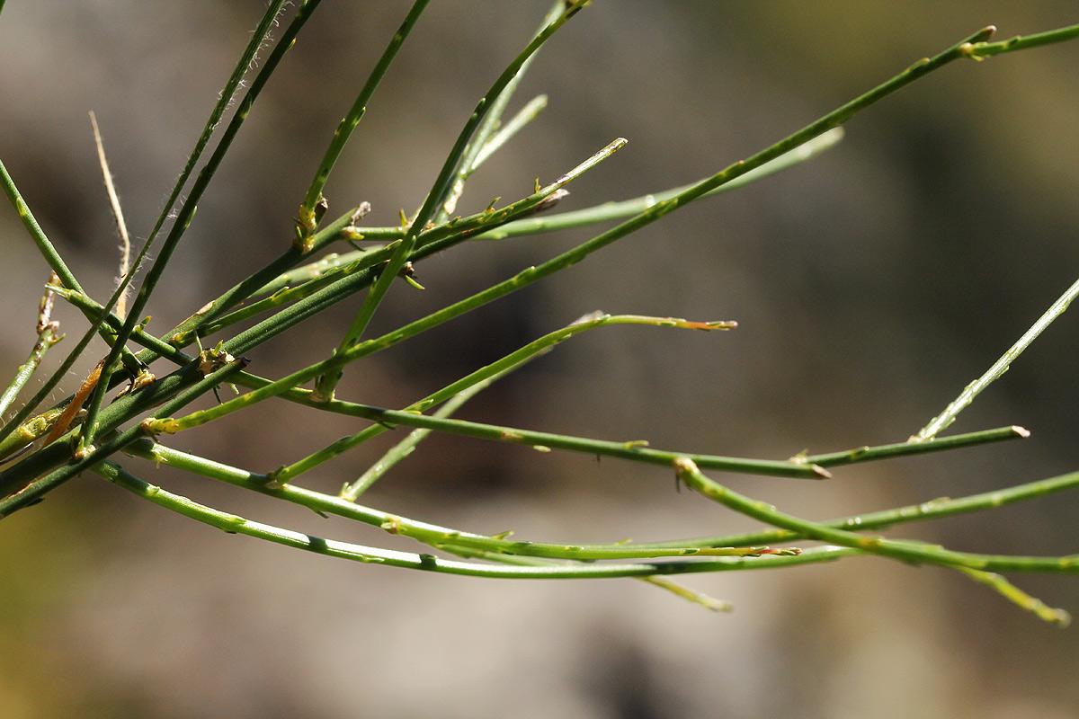 Wahlenbergia subaphylla subsp. scoparia