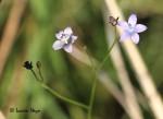 Wahlenbergia undulata
