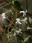 Cyphia mazoensis