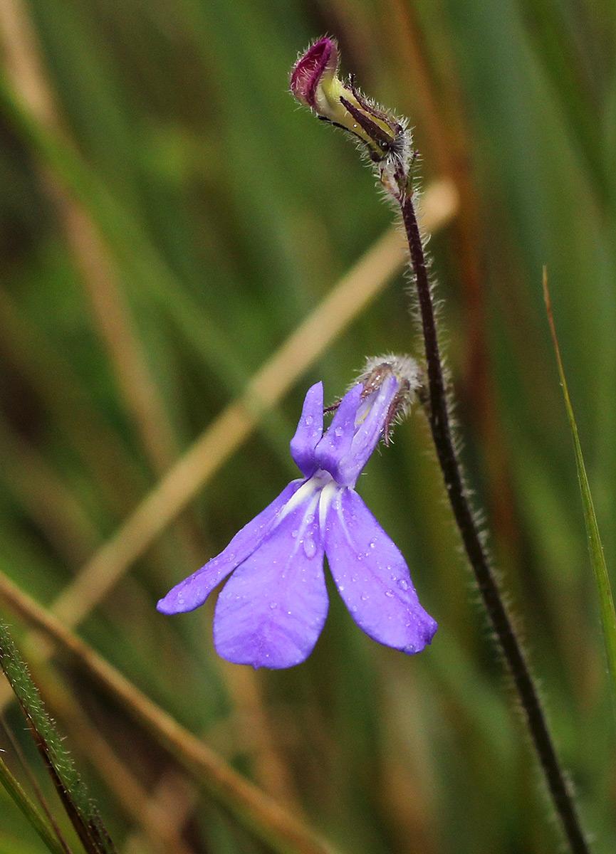 Lobelia cobaltica