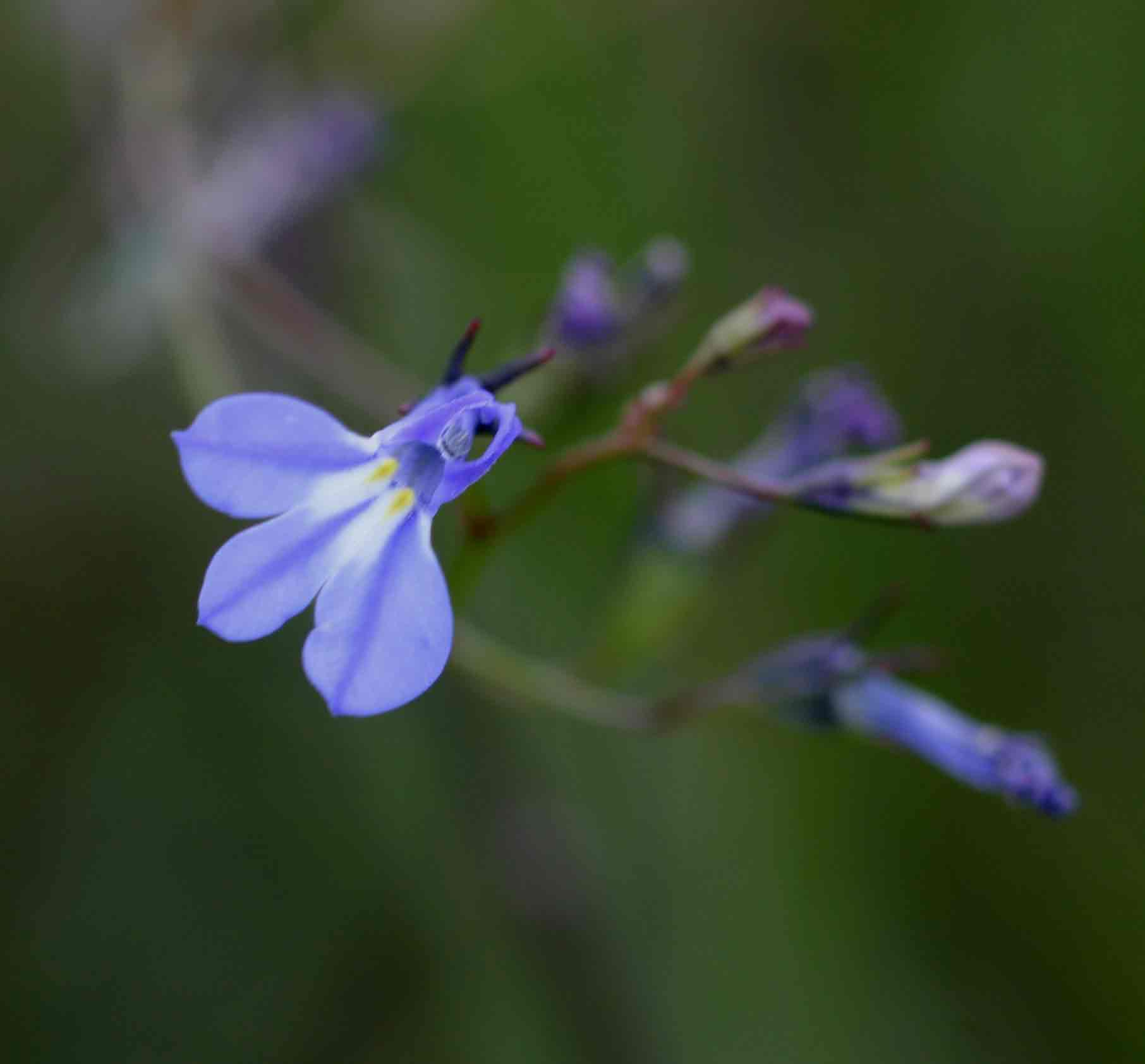 Flora Of Malawi Species Information Individual Images Lobelia Erinus