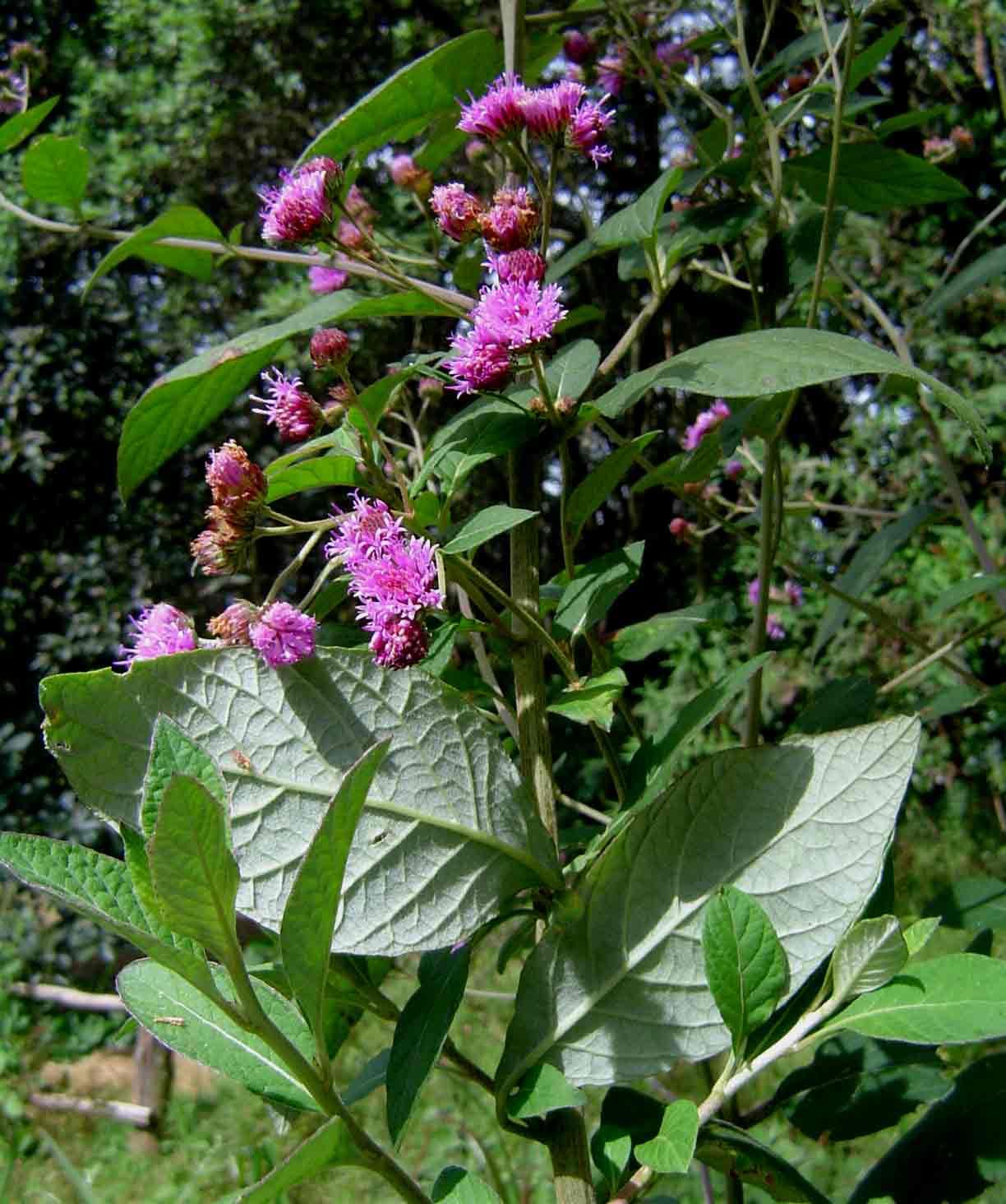 Gutenbergia cordifolia var. marginata