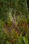 Gutenbergia eylesii subsp. eylesii